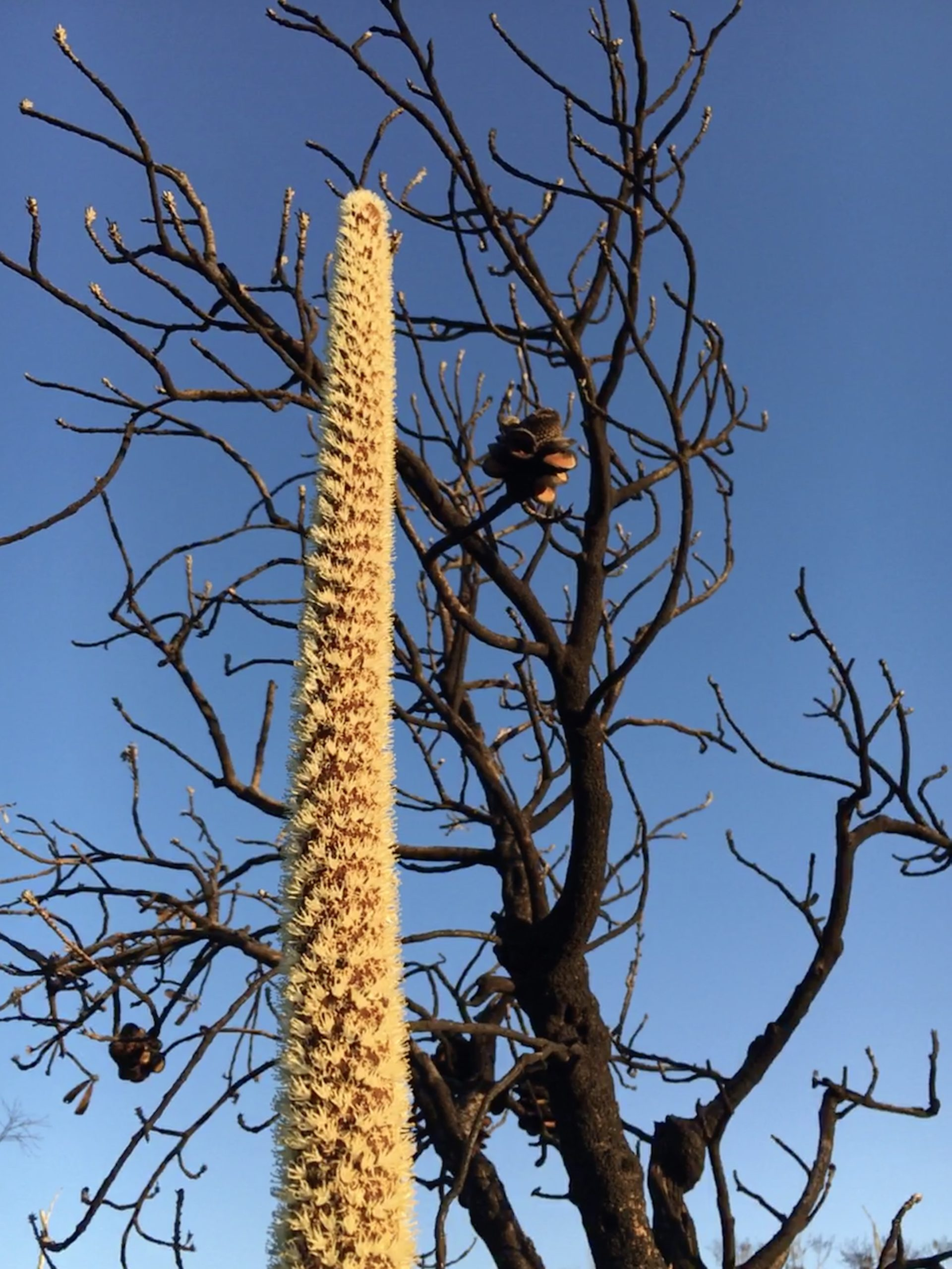 Long white spear of xanthorrheoa with a backdrop of a black dead banksia against a bright blue sky
